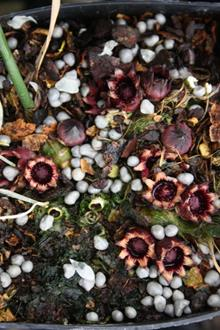 Aspidistra oblanceifolia 'Nagoya Stars' flowers