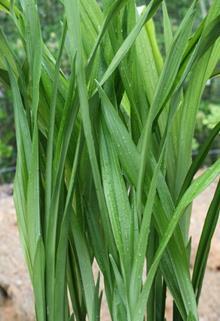 Aspidistra hainanensis 'Quan Ba' A1VT 182 foliage