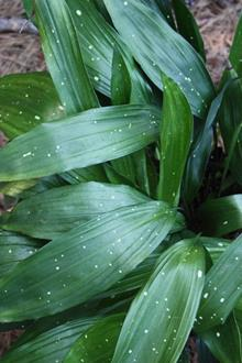 Aspidistra subrotata 'Mr. Jiew' (A1VT-352 sparsely spotted)