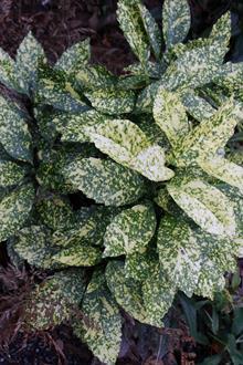 Aucuba japonica 'Crotonifolia'...see Aucuba 'Marmorata'
