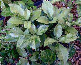 Aucuba japonica 'Echigo Nishiki' (B Yinger)