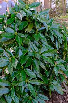 Aucuba japonica 'Ginsu'