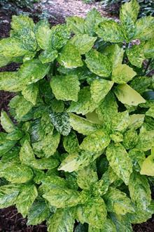 Aucuba japonica 'Goldilocks'