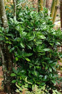 Aucuba japonica 'Hillieri'