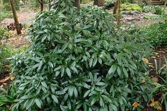Aucuba japonica 'Honshu'