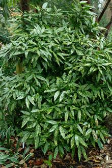Aucuba japonica 'Hosaba Hoshifu'