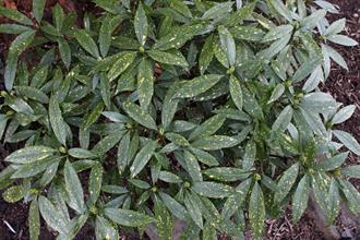 Aucuba japonica z-USNA LT