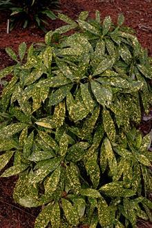 Aucuba japonica 'Katsunuma Nishiki'