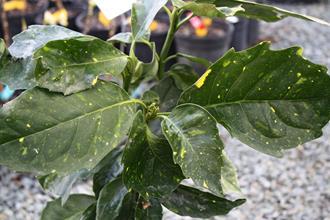 Aucuba japonica 'Ki Mi'