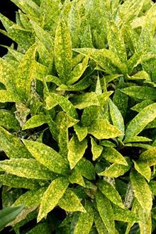 Aucuba japonica 'Lemon Flare'