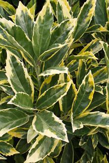 Aucuba japonica 'Limbata'