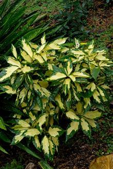 Aucuba japonica 'Ogon no Tsuki'
