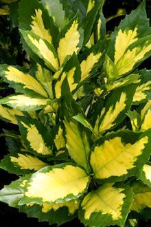 Aucuba japonica 'Ooba Nakafu'
