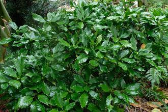 Aucuba japonica 'Snaggle Tooth'