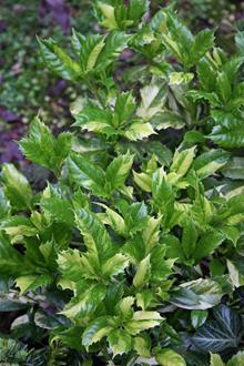 Aucuba japonica 'Fukuju' cf. OJ variegated dwarf