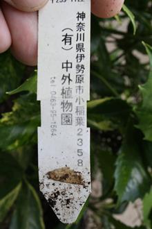 Aucuba japonica 'Fukuju' cf.