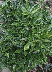 Aucuba japonica 'Longifolia'