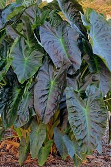 Colocasia 'Aloha' PP 29,692