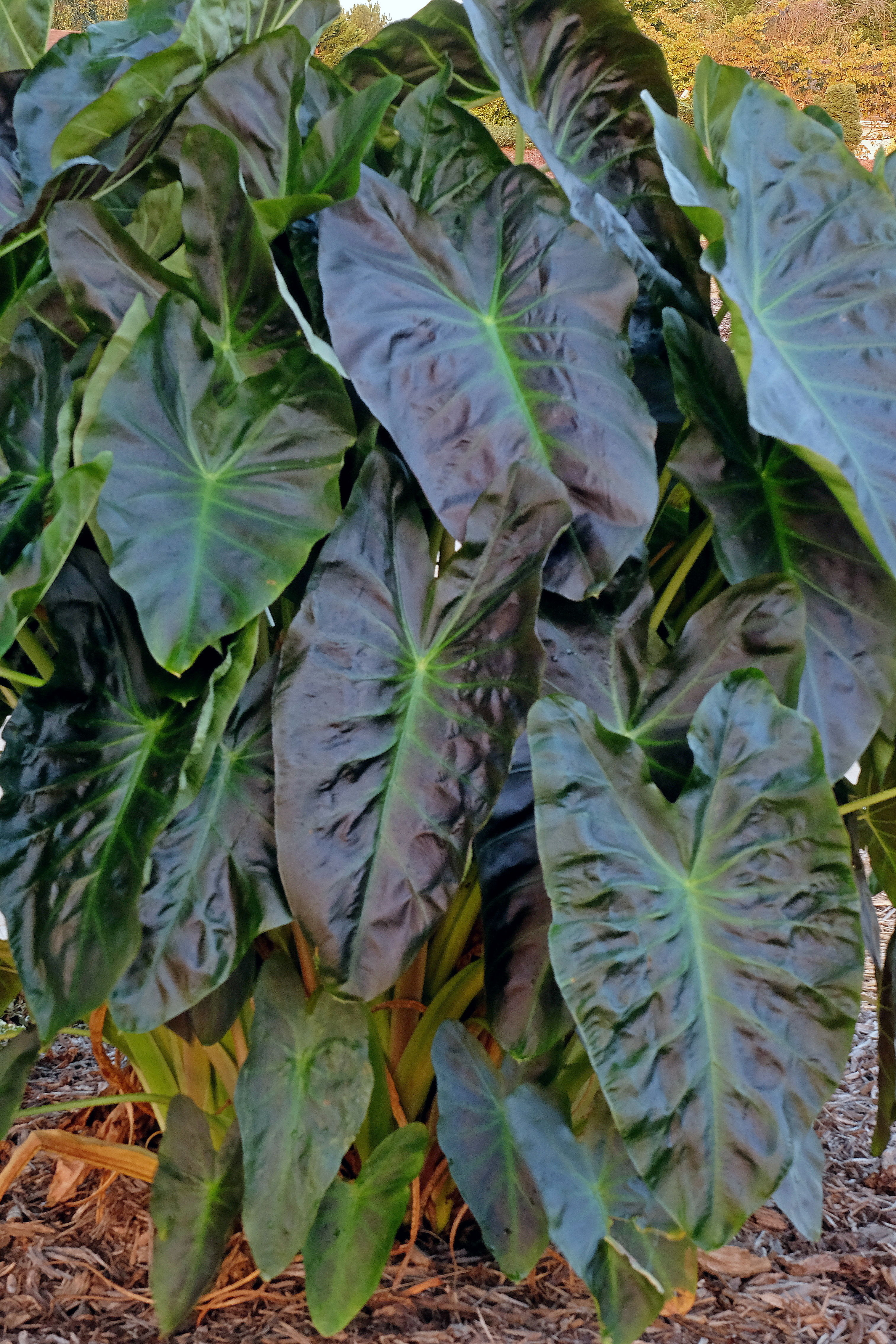 Colocasia 'Aloha' PP 29,692 @ JLBG - a 2017 John Cho introduction using C. 'Coal Miner' as a parent.