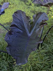 xLeucocolocasia 'Black Goblet'