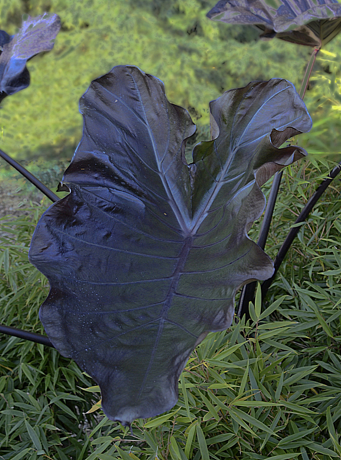 xLeucocolocasia 'Black Goblet' @ Walters Gardens - a Hans Hansen introduction of a cross of Colocasia esculenta x Leucocasia (Colocasia) gigantea (photo by CJW)