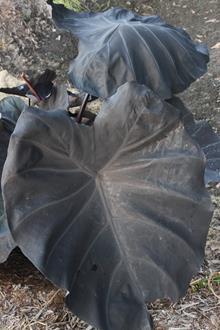 xLeucocolocasia 'Dragon Heart Gigante'