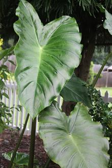 Colocasia 'Fontanesii Green'