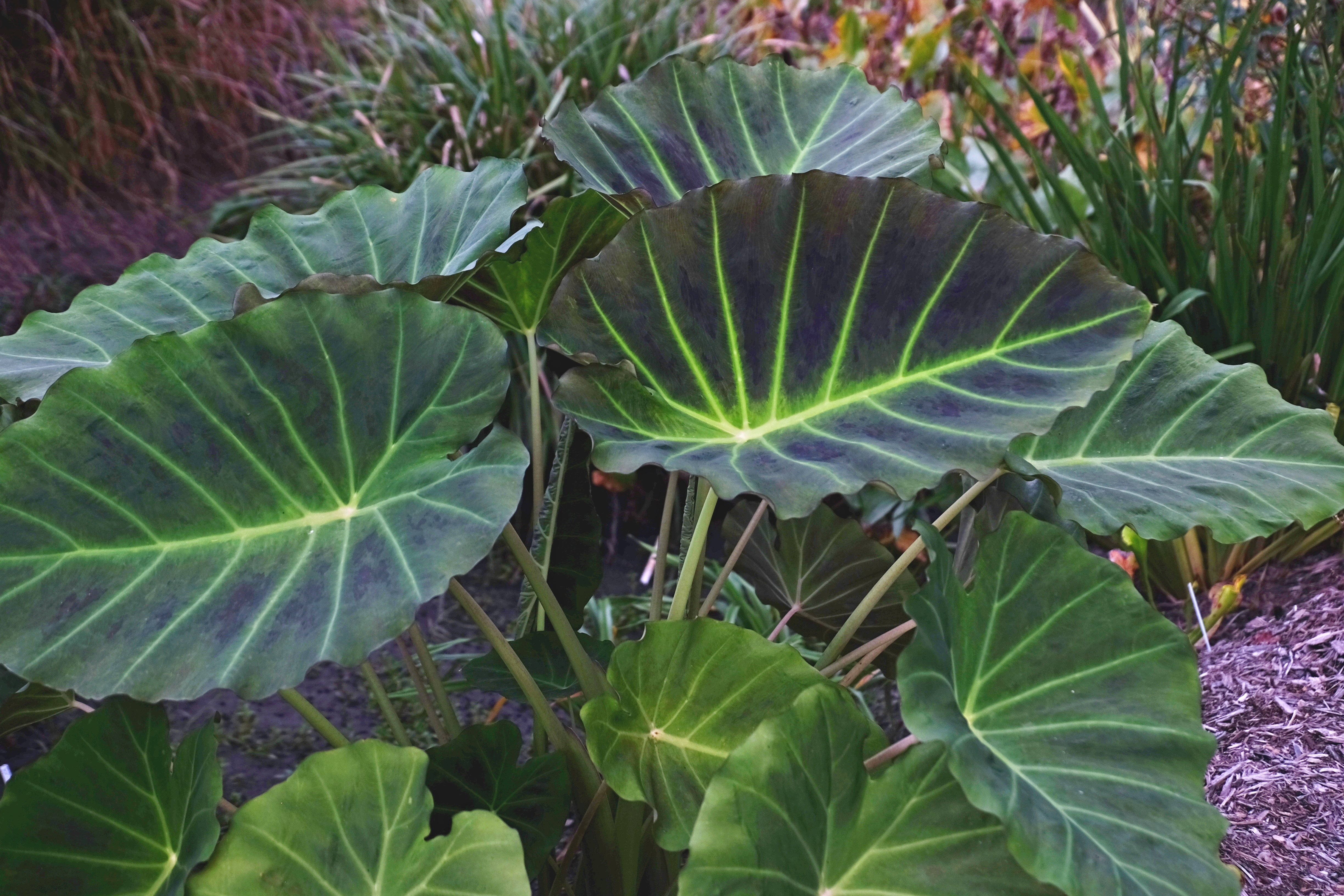 xLeucocolocasia 'Imperial Gigante' PP 26,152 @ JLBG - a Brian Williams introduction of a cross of Colocasia esculenta x Leucocasia (Colocasia) gigantea