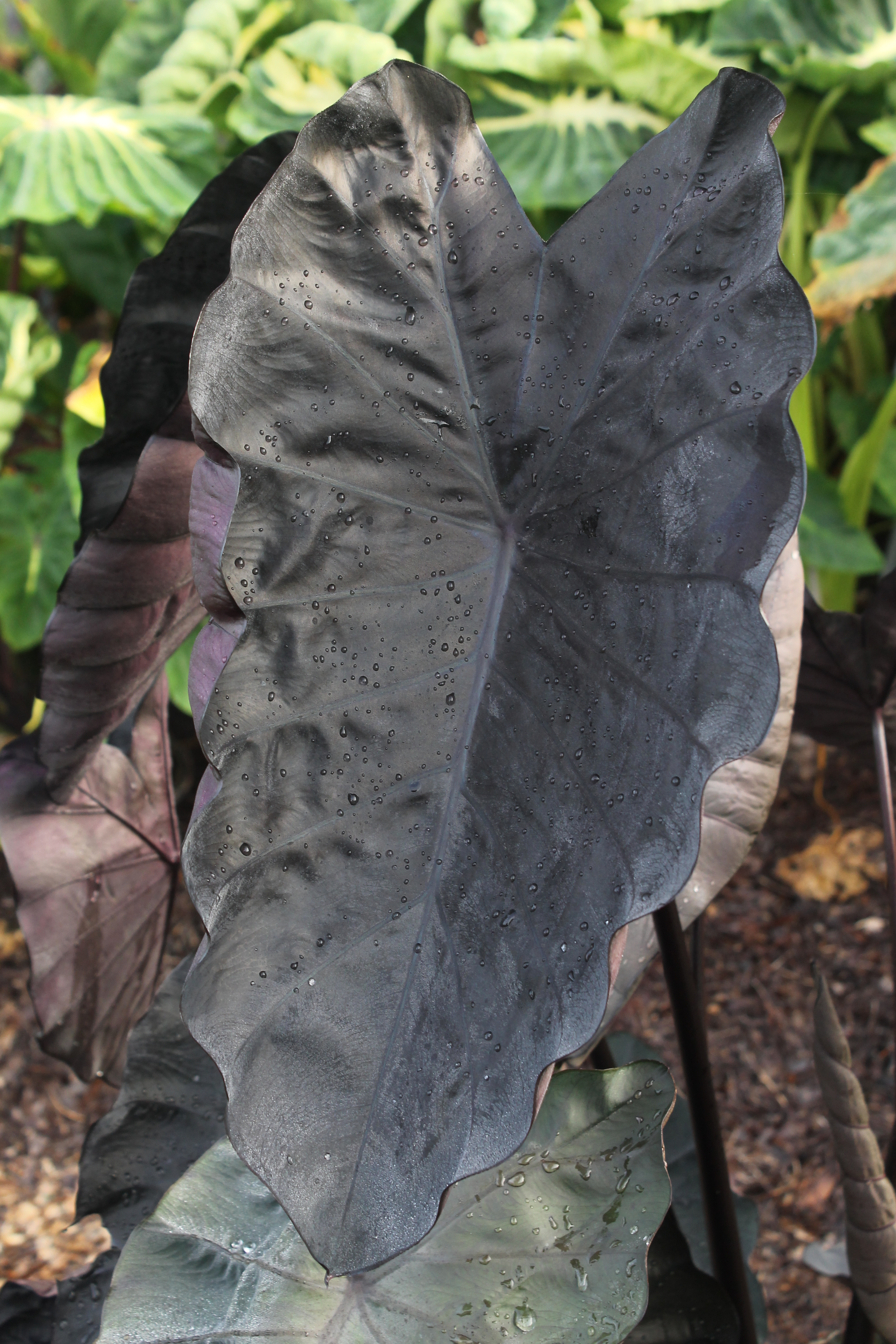 Colocasia 'Painted Black Gecko' @ JLBG - a Brian Williams introduction