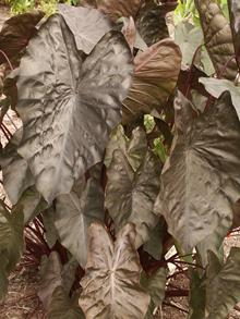 Colocasia esculenta 'Diamond Head' PP 19,939