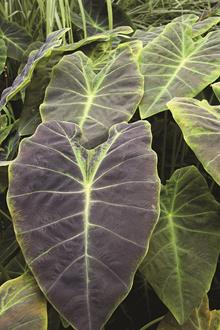 Colocasia esculenta 'Black Beauty'