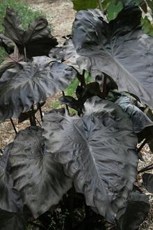 Colocasia esculenta 'Black Coral' PP 23,896