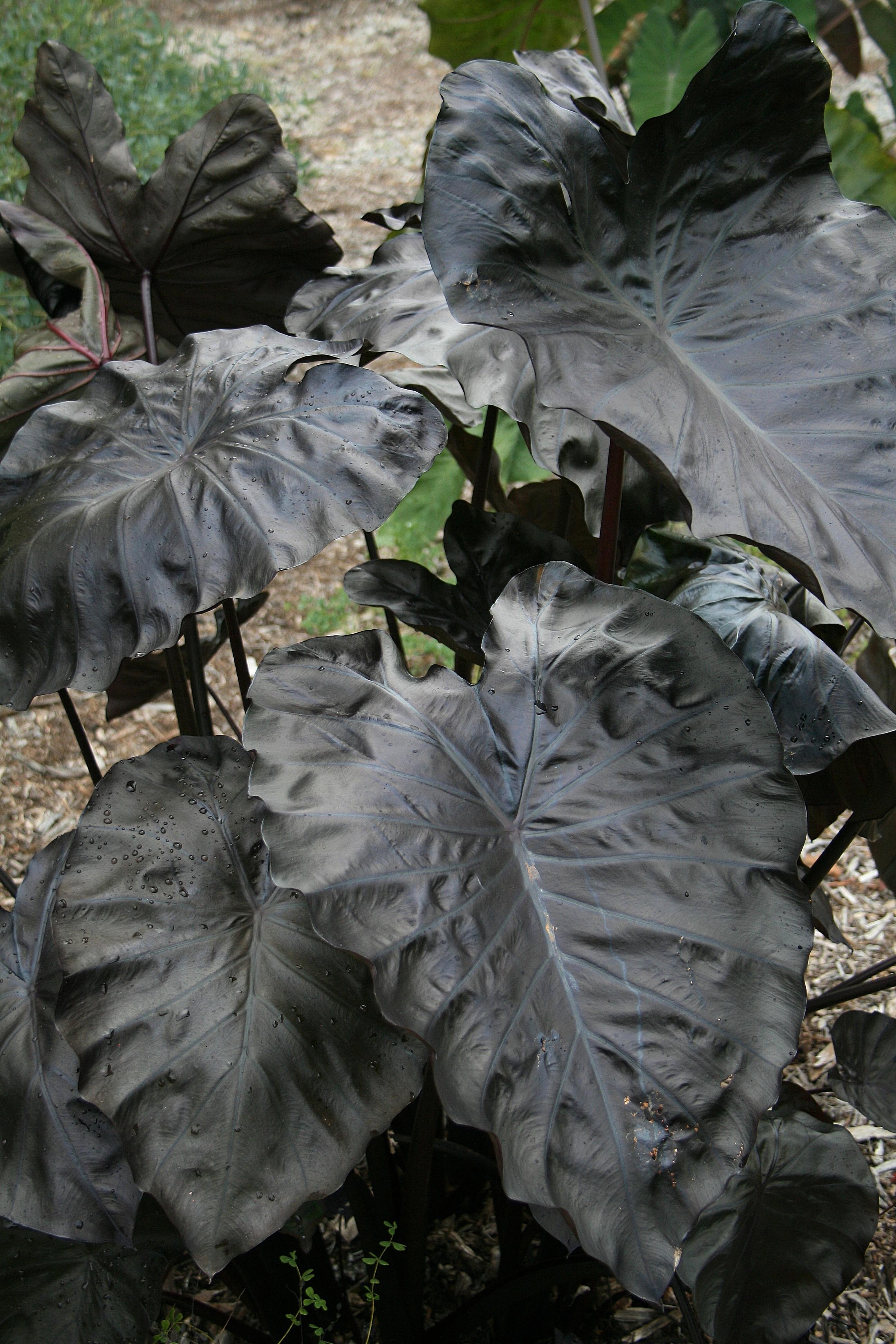 Colocasia esculenta 'Black Coral' PP 23,896 - a 2011 John Cho introduction