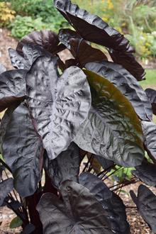 Colocasia esculenta 'Black Ripple' PP 26,151
