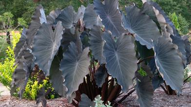 Colocasia esculenta 'Black Runner'