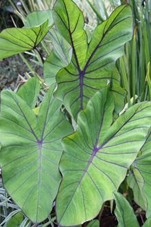 Colocasia esculenta 'Blue Hawaii' PP 20,003