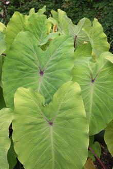 Colocasia esculenta 'Elena'