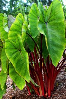 Colocasia esculenta Hawaiian Punch' PP 24,596