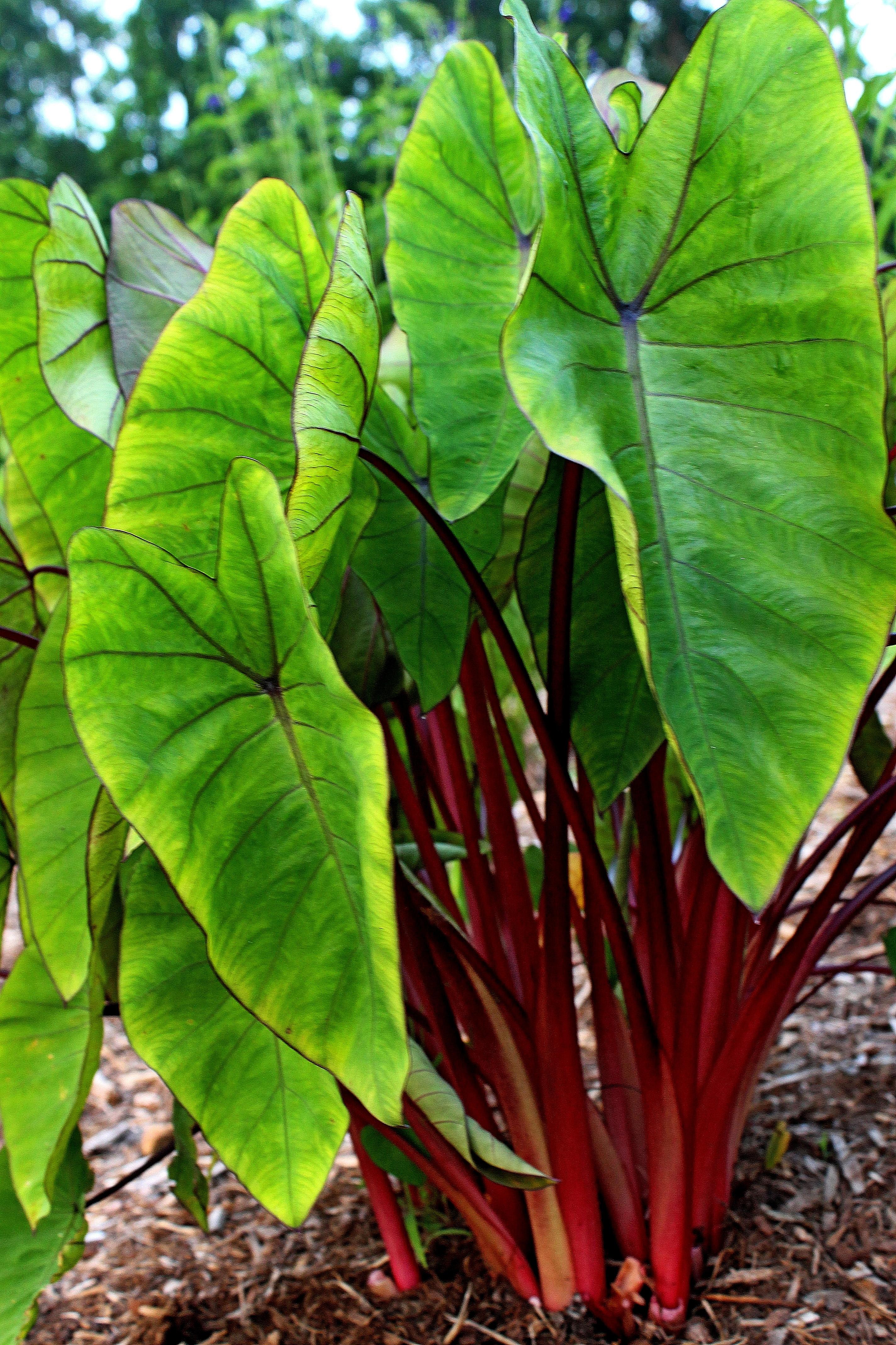 Colocasia esculenta Hawaiian Punch' PP 24,596 @ JLBG - a 2012 John Cho introduction