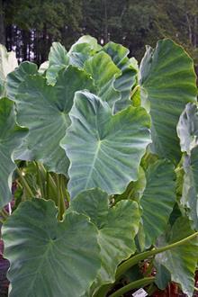 Colocasia esculenta 'Jack's Giant'