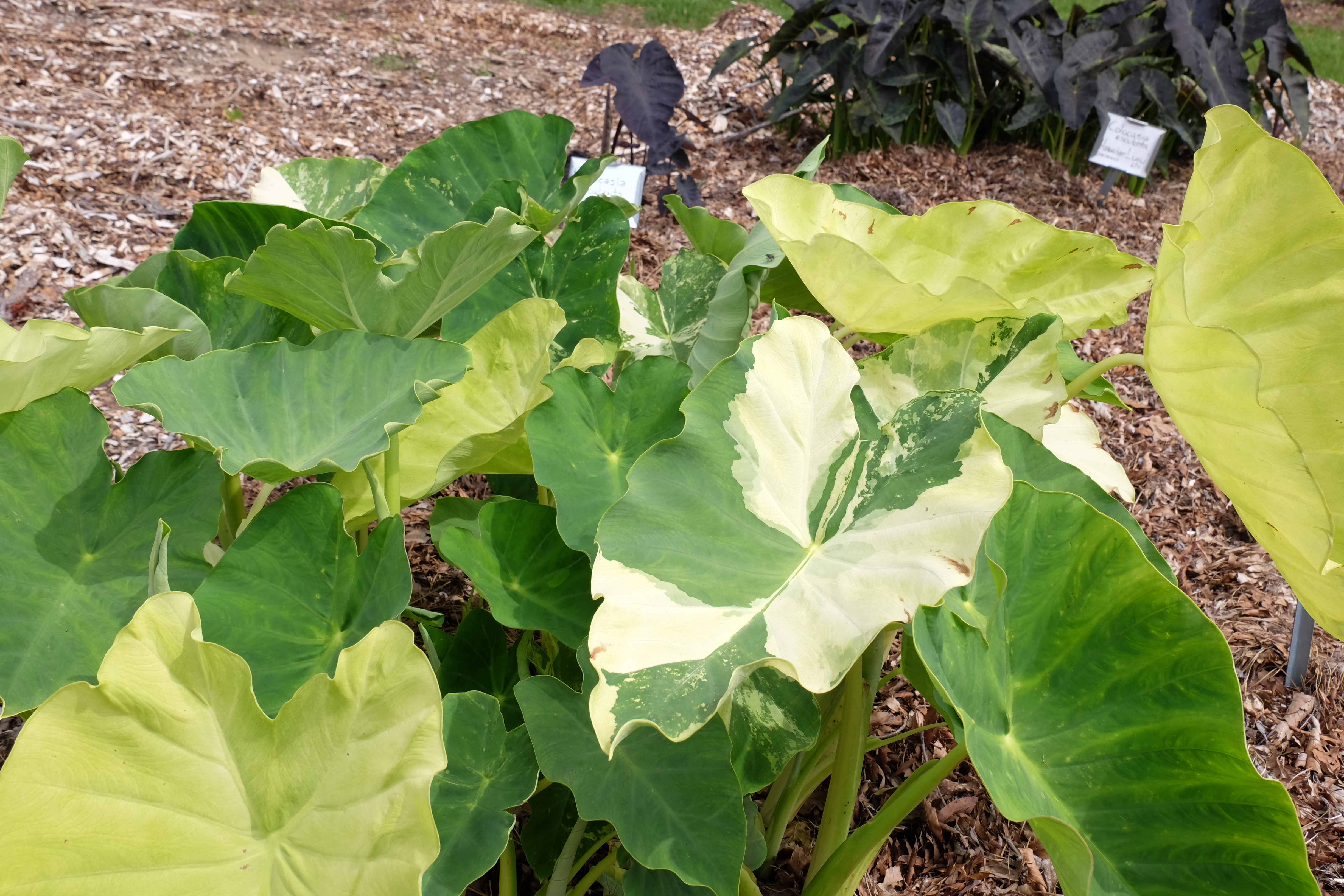 Colocasia esculenta 'Jack's Giant Variegated' @ JLBG - an unintroduced sport of Colocasia 'Jack's Giant' that is highly variegated in spring, but goes all green by mid-summer