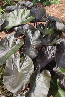 Colocasia esculenta 'Kona Coffee' PP 22,420