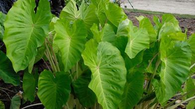 Colocasia esculenta 'Maui Gold' PP 24,482