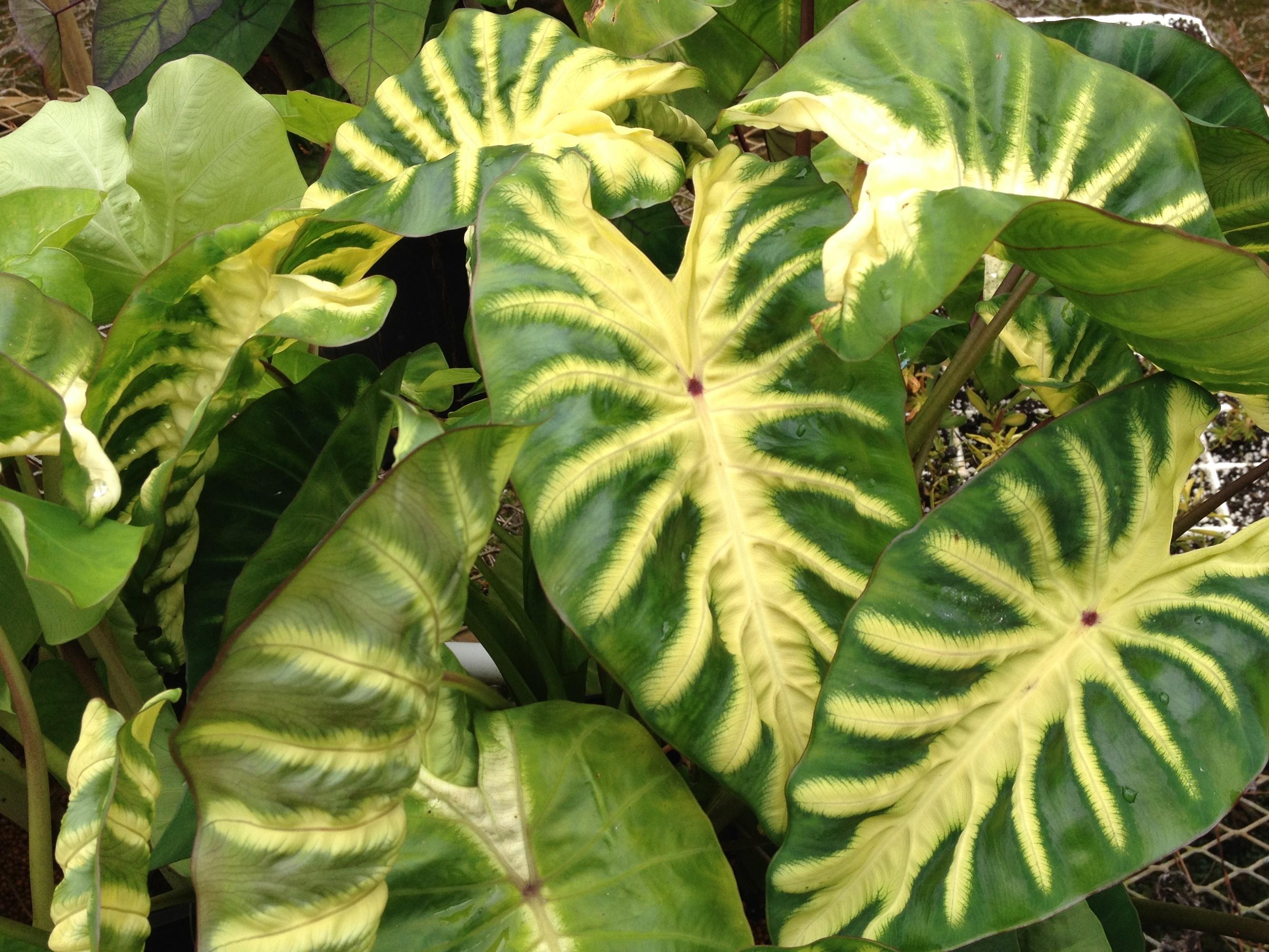 Colocasia esculenta 'Maui Sunrise' PP 31,175 @ Hawaii - a 2020 John Cho introduction