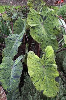 Colocasia esculenta 'Mojito' PP 21,995