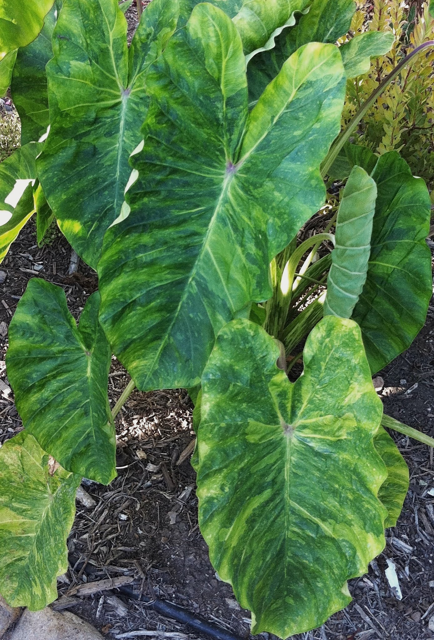 Colocasia esculenta 'Morning Dew' PP 26,865 @ California - a 2014 John Cho introduction