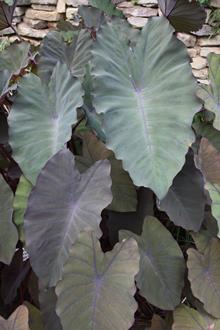 Colocasia esculenta 'Pineapple Princess' PP 20,982