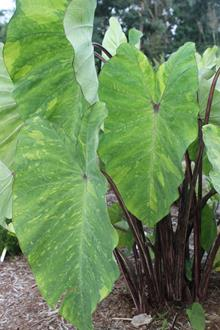 Colocasia esculenta 'Red eyed Gecko'