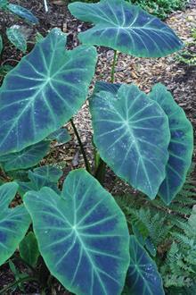 Colocasia esculenta var antiquorum 'Illustris'