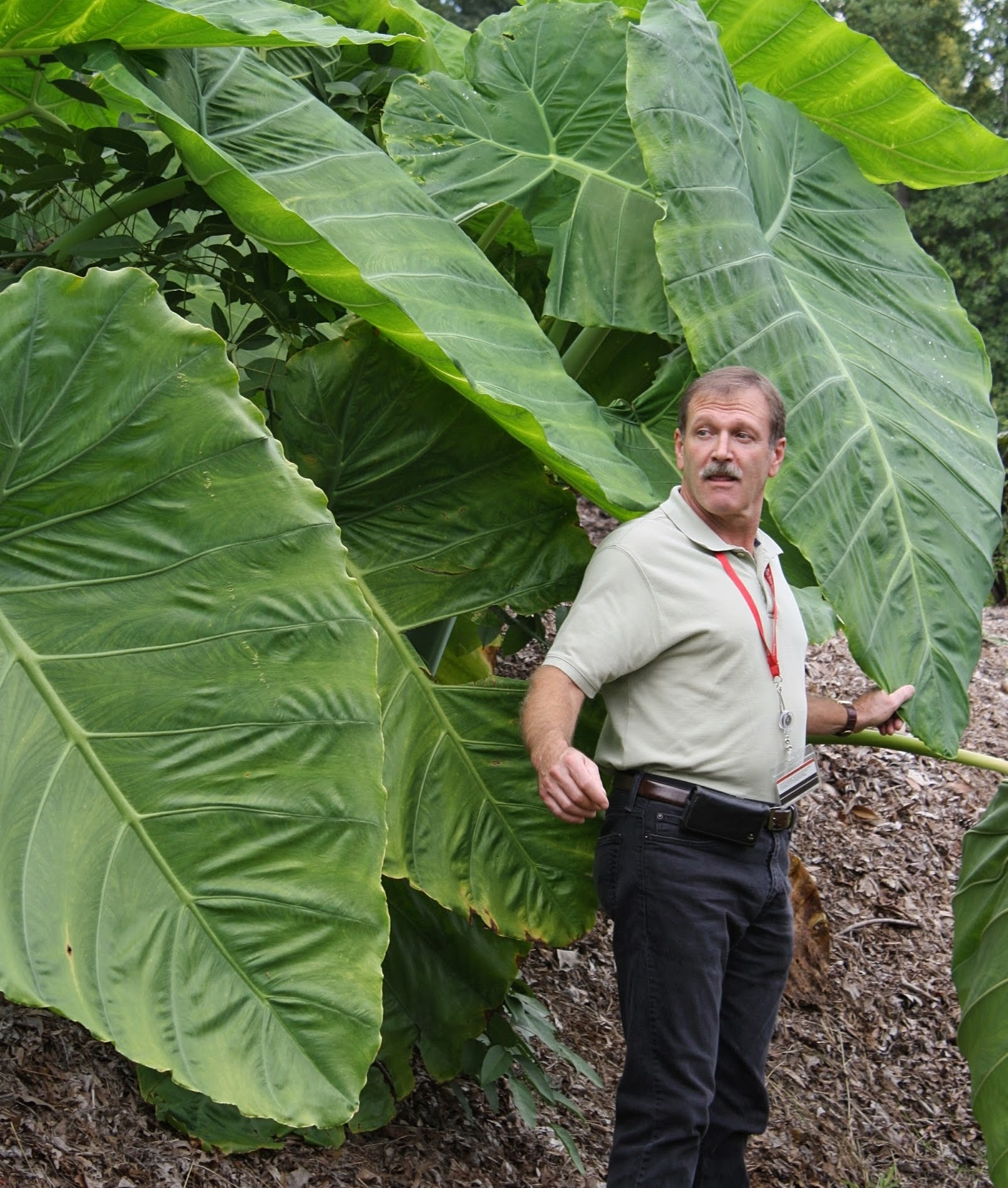 Leucocasia (colocasia) gigantea 'Laosy Giant' with Alan Galloway @ JLBG - a 2011 Alan Galloway collection from Laos; named and introduced by Plant Delights/JLBG in 2015